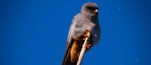 Falco amurensis in Romania